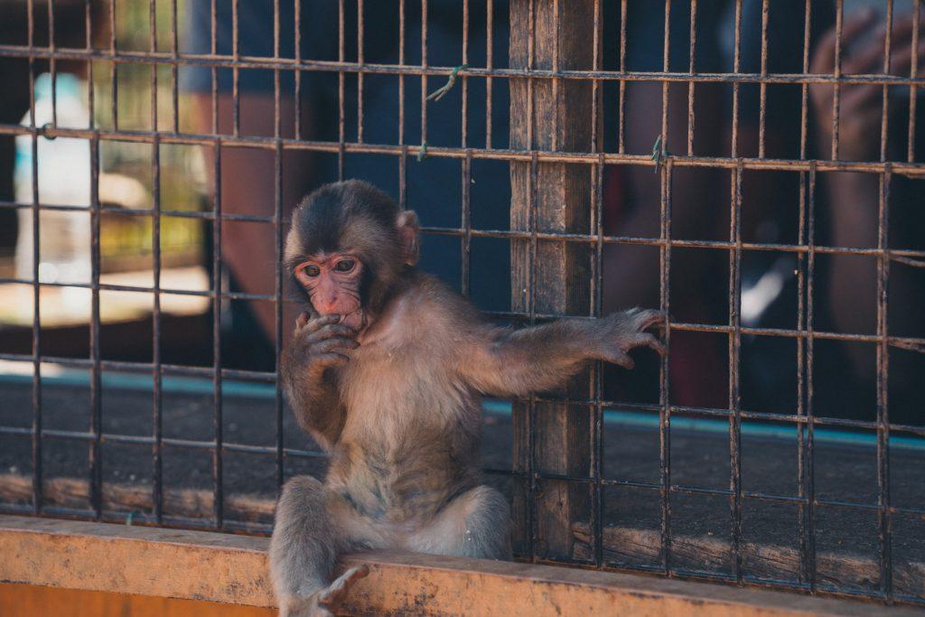 image of a baby japanese monkey