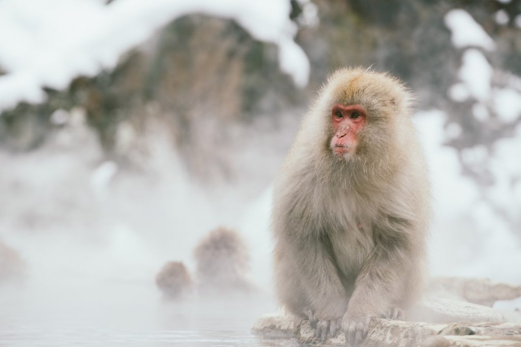 Japanese Macaque - witandfolly.co