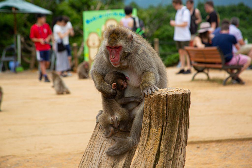 monkey in arashiyama monkey park
