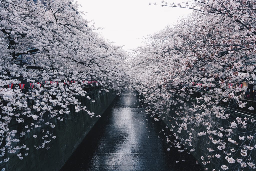 picture of cherry blossoms along a river