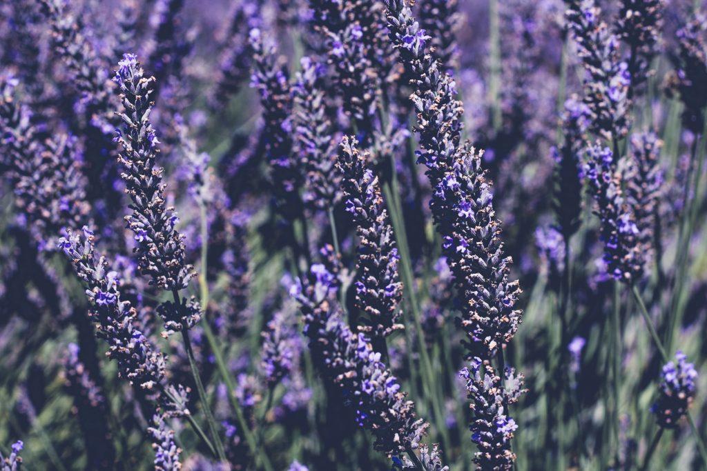 lavender upclose