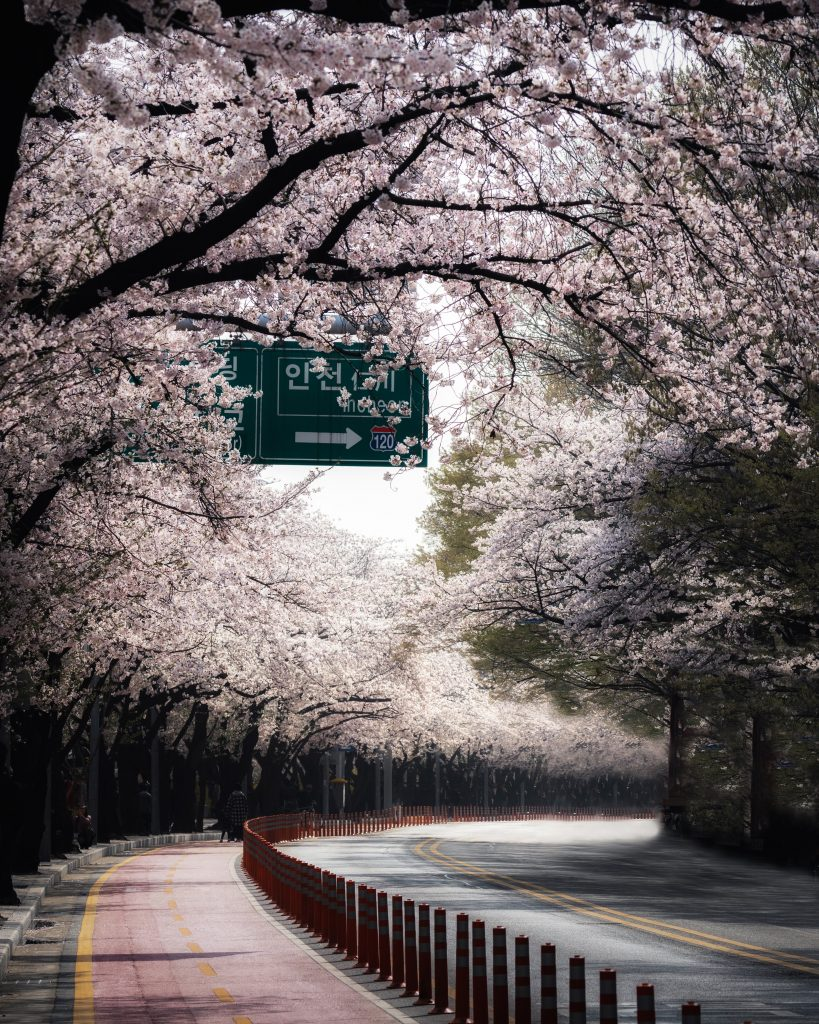 image of cherry blossoms lining the street