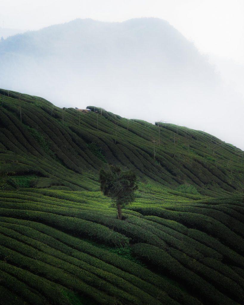 image of single tree in tea field