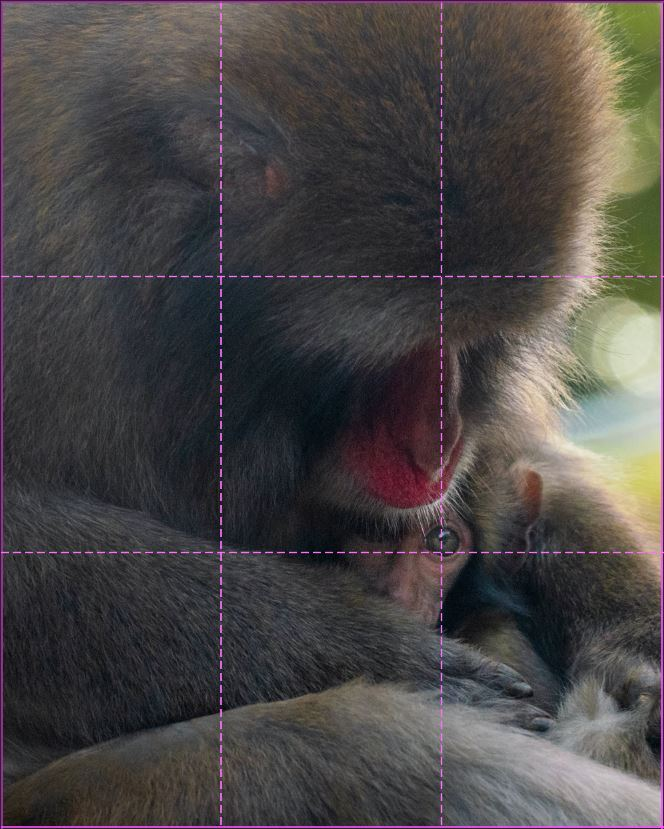 image of a baby monkey in the mother baby's arms with the rule of third grid overlayed