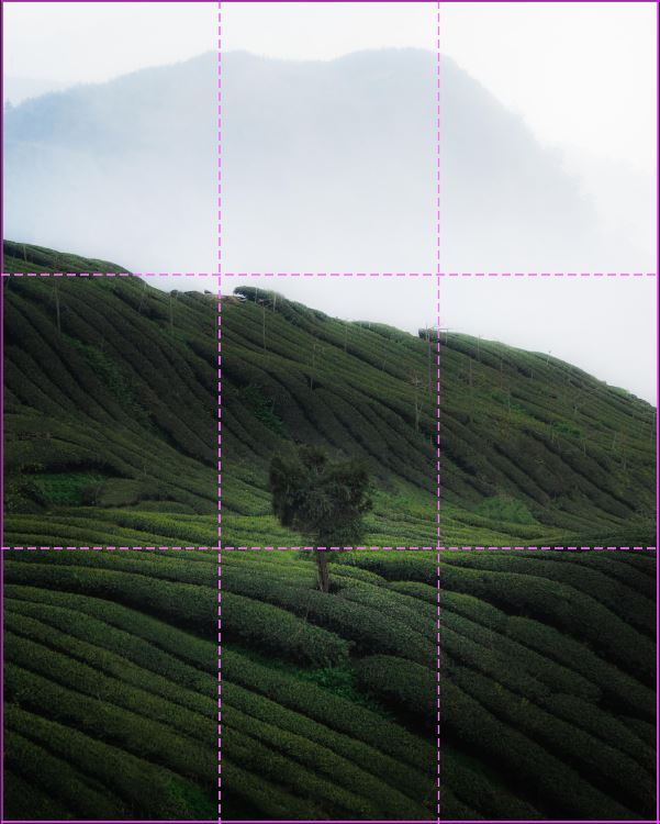image of a single tree in a tea field with rule of third lines overlaying