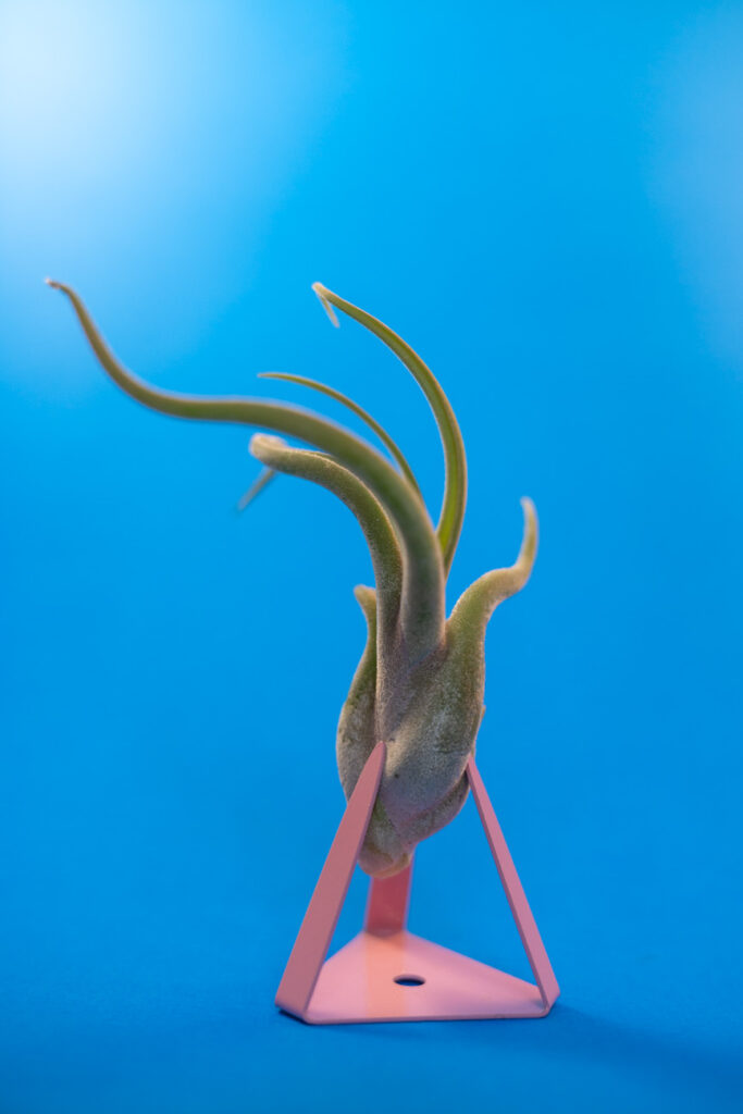 image of air plant on pink stand in front of blue background