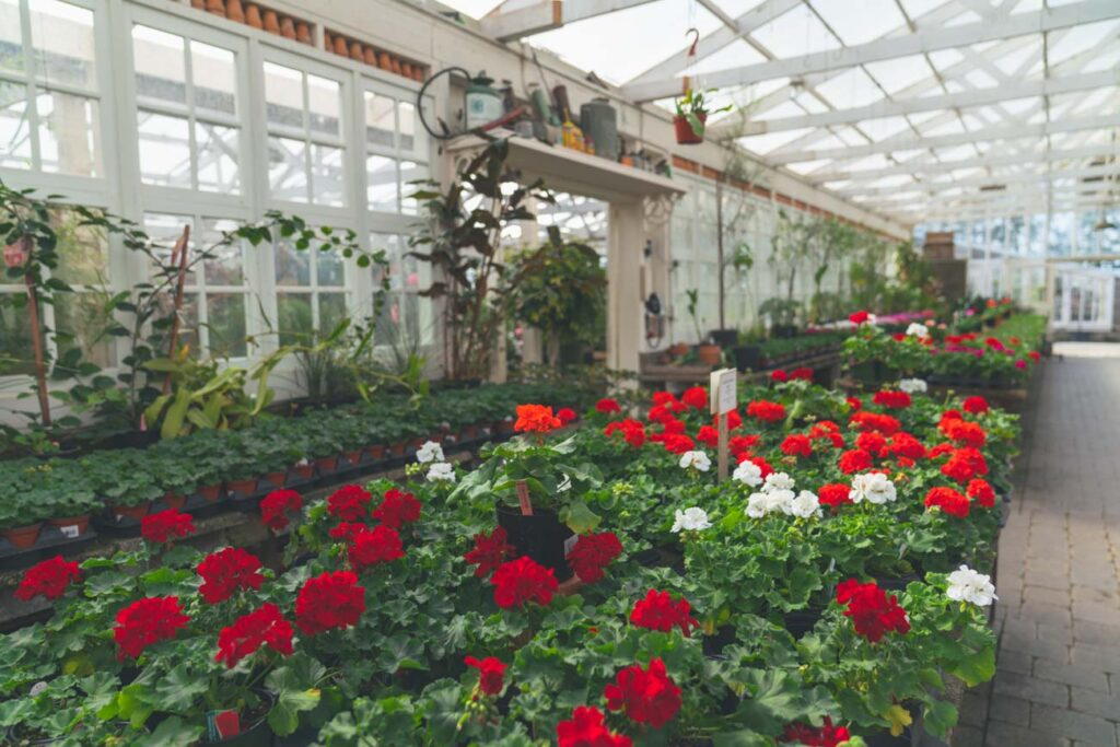 image of red and white flowers in a greenhouse