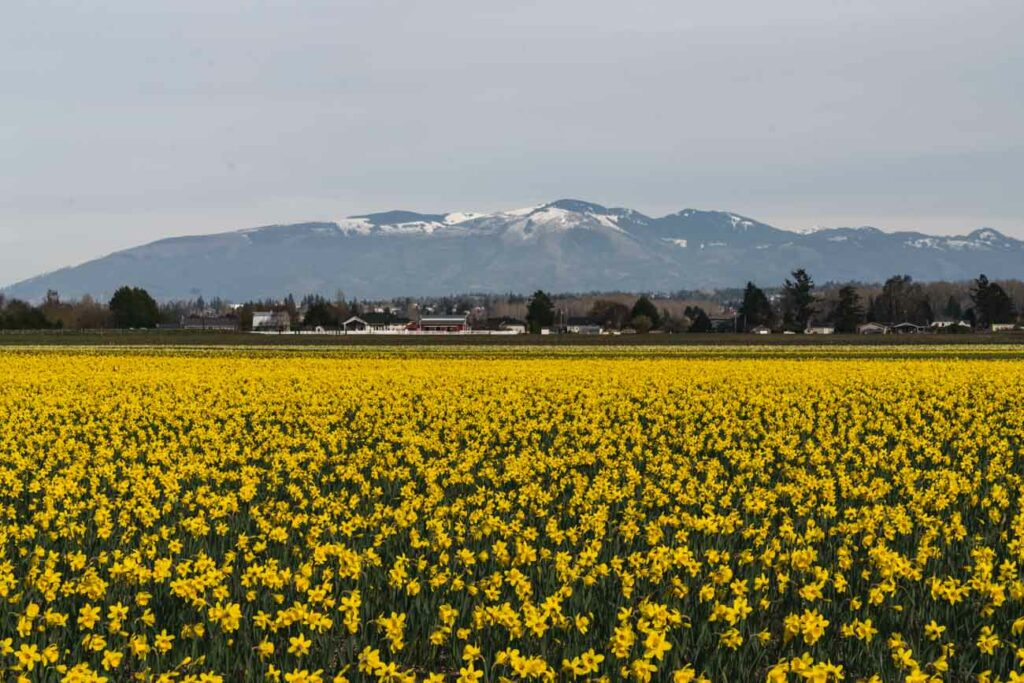 image of daffodil field with mountain range in the background