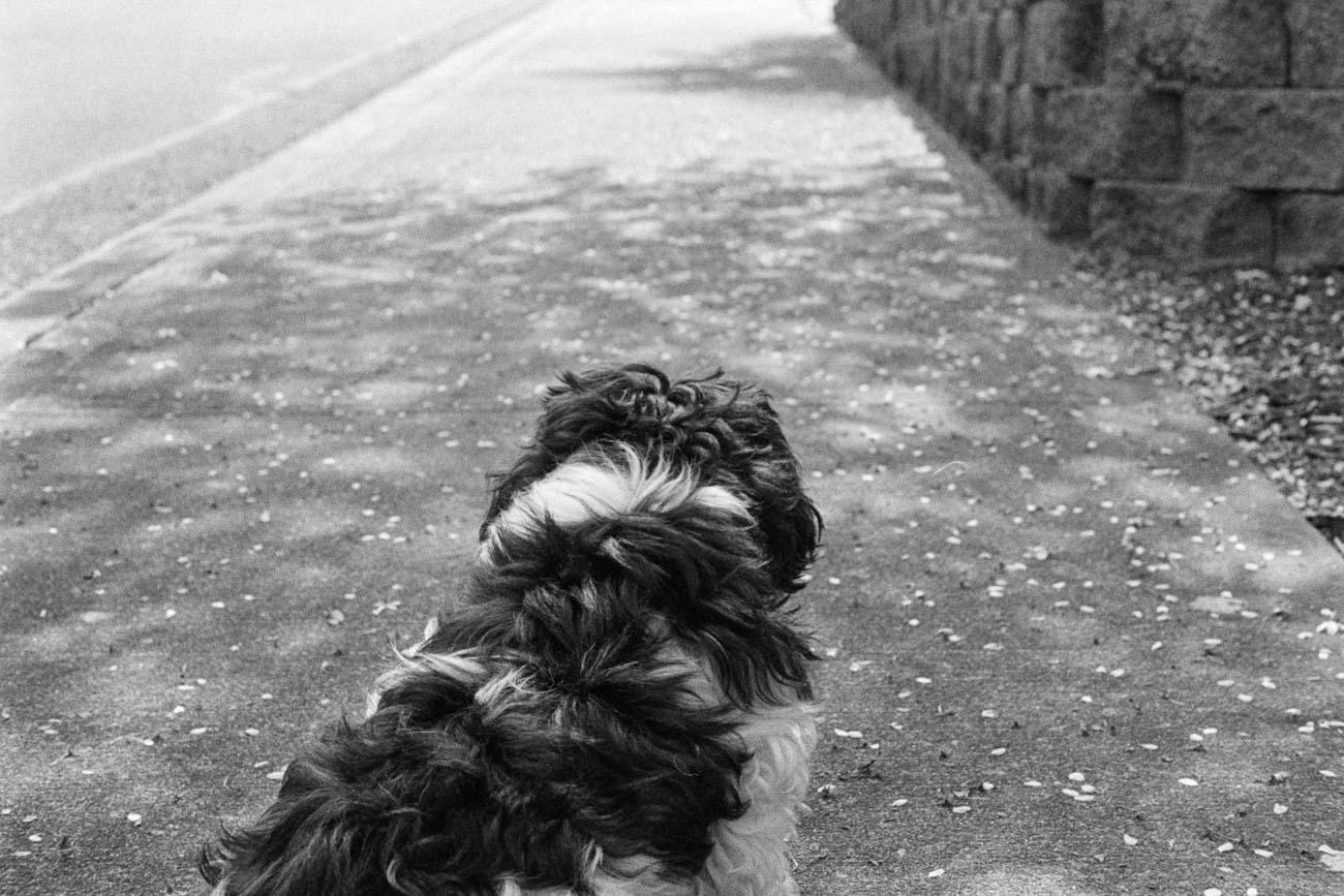 black and white image of shih tzu dog on the side walk