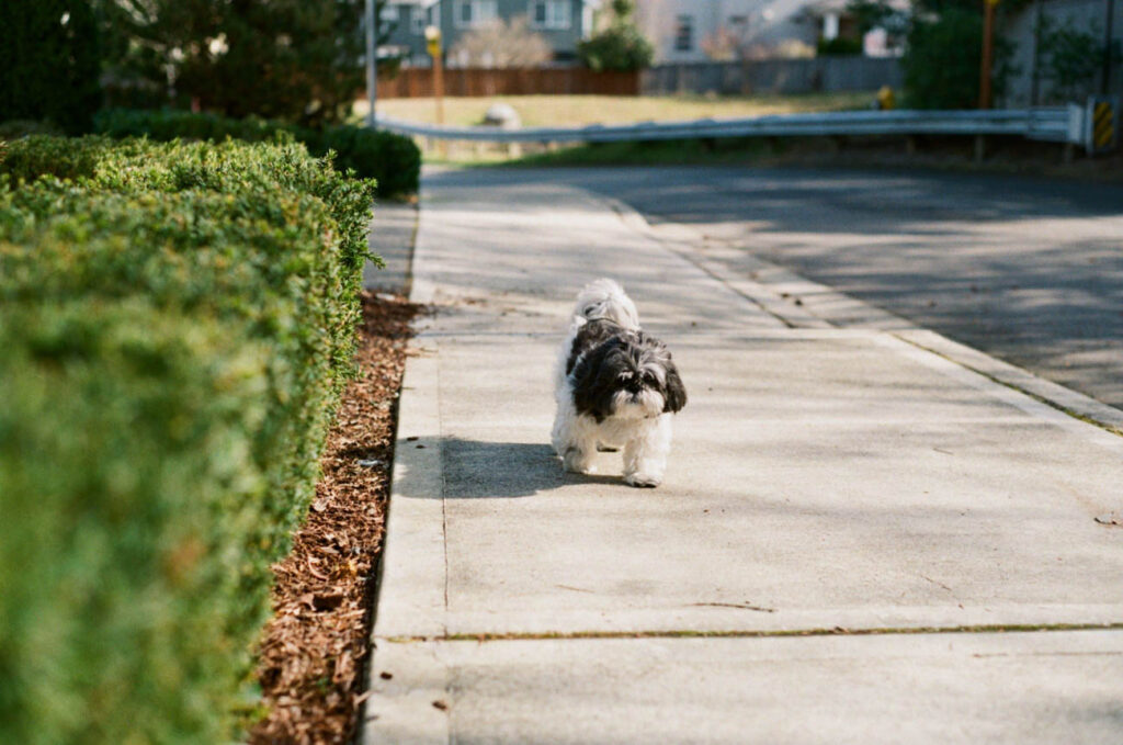 image of shih tzu walking on the side walk