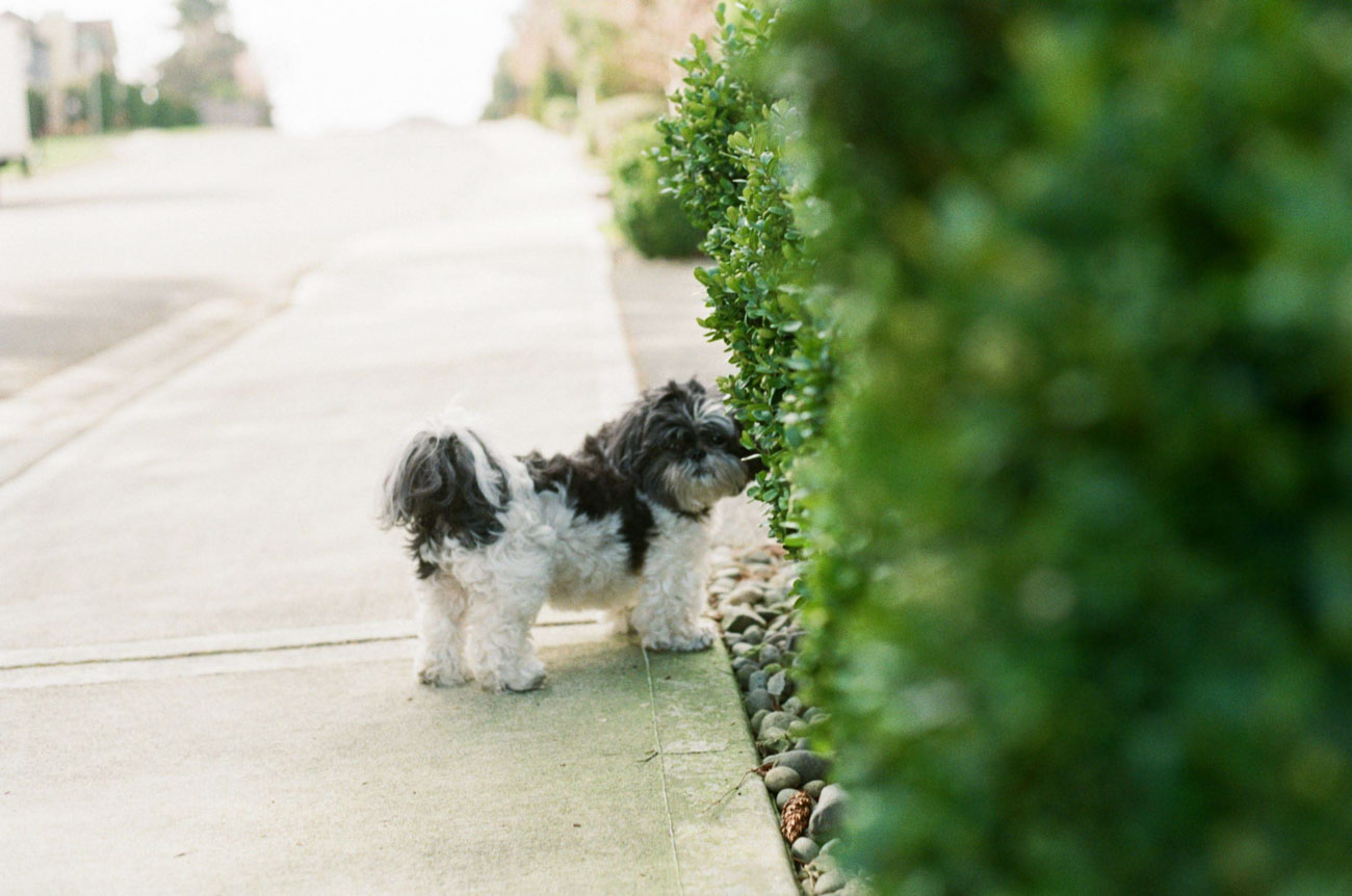 image of a shih tzu standing next to green bush