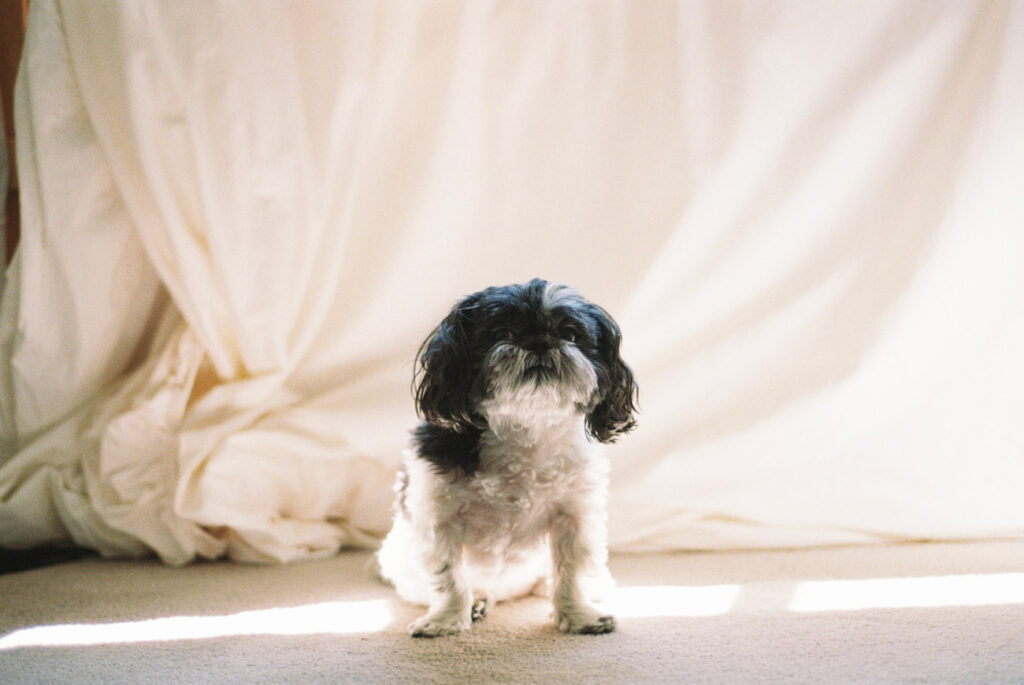 image of a black and white shihtzu in front of a white sheet