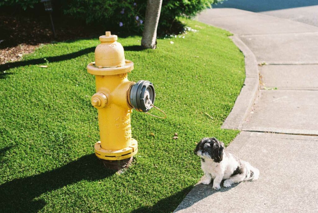 image of black and white shih tzu sitting next to yellow fire hydrant