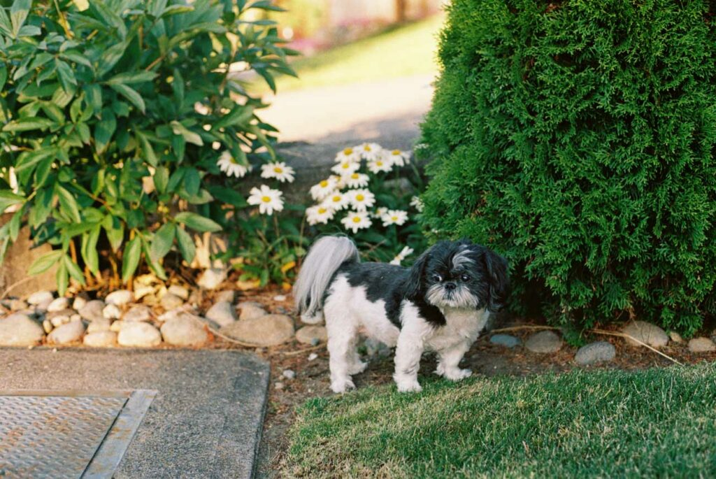 image of black and white shih tzu sitting in front of green bushes and flowers