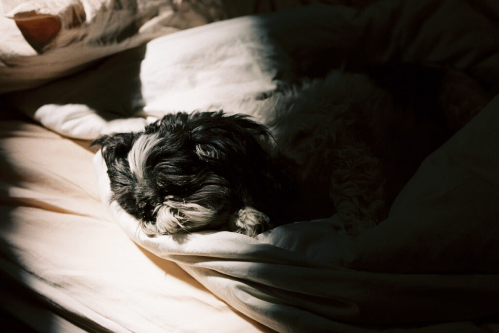 image of black and white shih tzu on bed in light and shadows