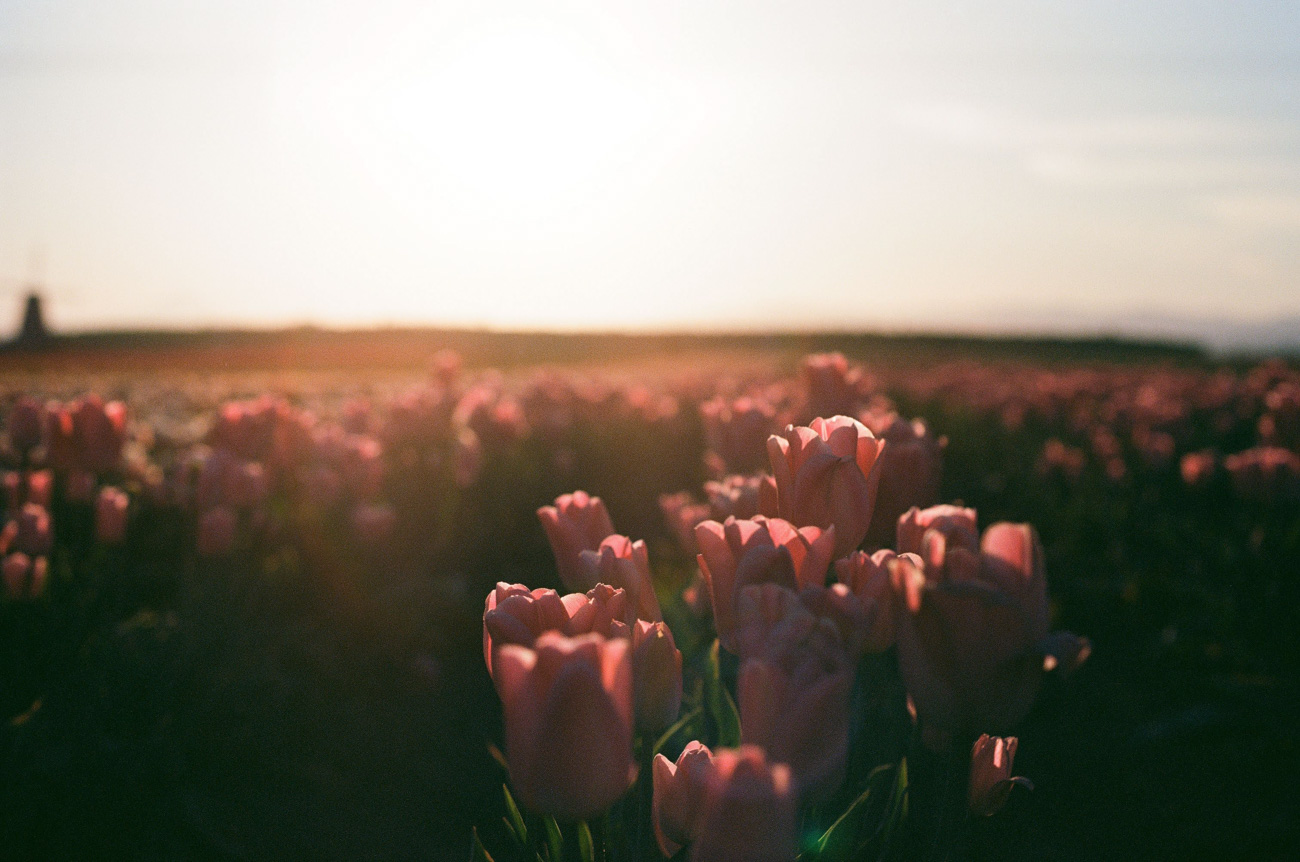 image of tulip field at sunrise